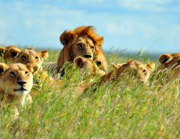 A pride of lions soaking up the mid-day sun. Serengeti National Park, Tanzania