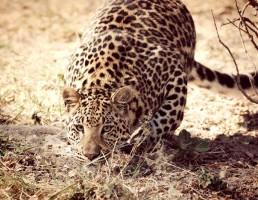 Tanzanie-Leopard