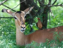 afrique-du-sud-impala