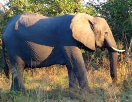 botswana-elephant-1
