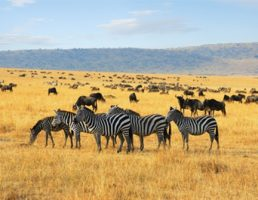 African landscape with zebras and antelopes gnu