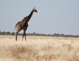 Namibie-Etosha (7)